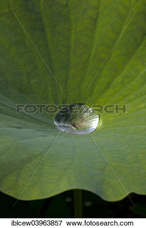 "Picture of ""Indian Lotus (Nelumbo nucifera), leaf with water."
