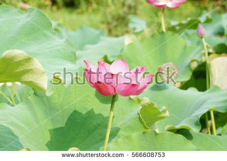 Nelumbo Stock Photos, Royalty.