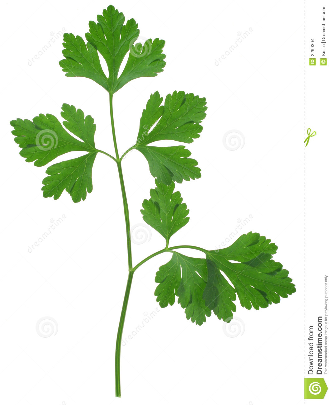Parsley Sprig Stock Images.