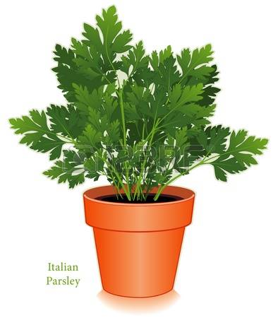 221 Flat Leaf Parsley Cliparts, Stock Vector And Royalty Free Flat.