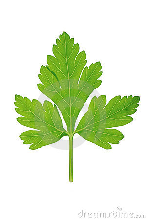 Parsley Green Leaf Royalty Free Stock Photo.