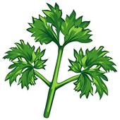Parsley Illustrations and Clip Art. 568 parsley royalty free.