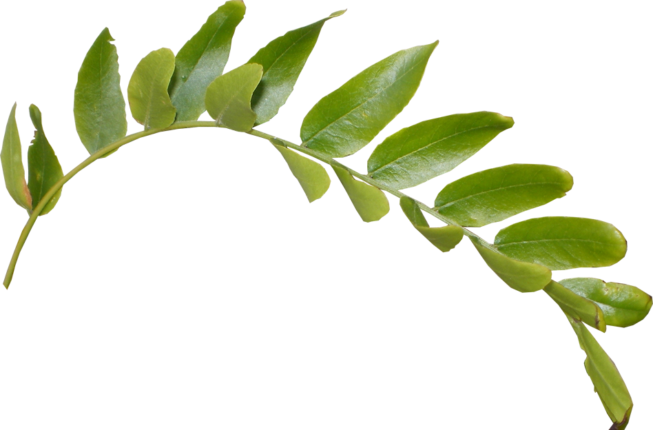 Download Leaves PNG HD.