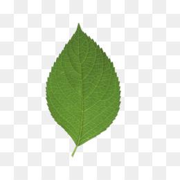Tea Leaf PNG.