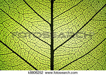 Stock Photo of leaf ribs and veins k8806252.