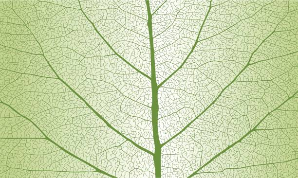 Leaf With Ribs Clip Art, Vector Images & Illustrations.