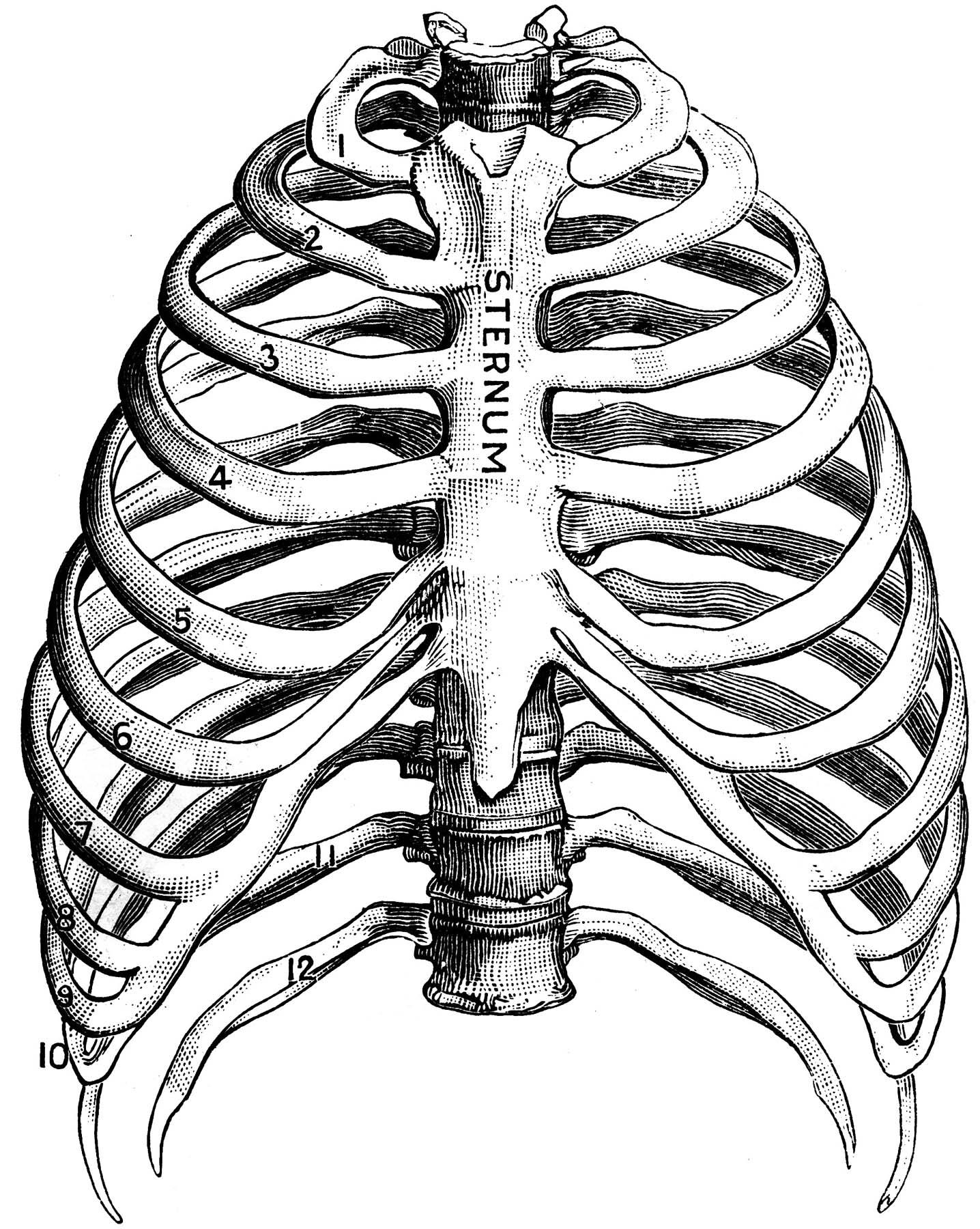 Human ribs clipart.