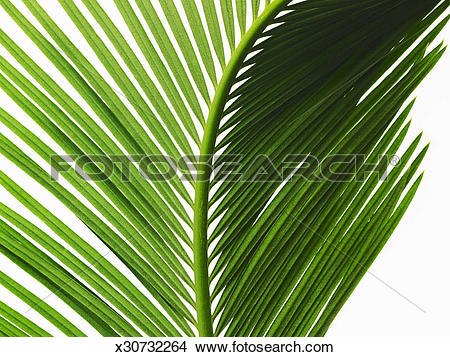 Stock Photo of A glossy green palm leaf in close up, with central.