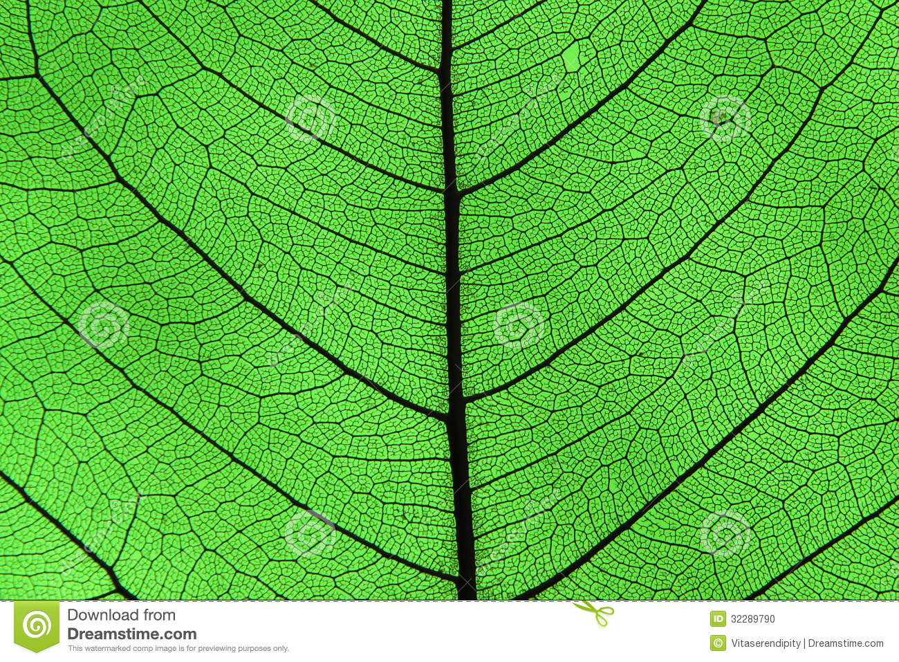 Leaf Ribs And Veins Stock Photos.