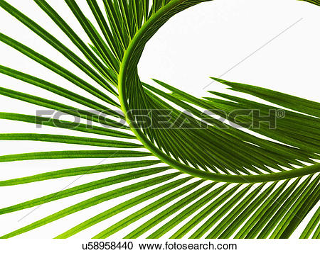 Stock Photography of A glossy green palm leaf in close up, with.