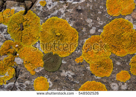 """foliose Lichen"" Stock Photos, Royalty."