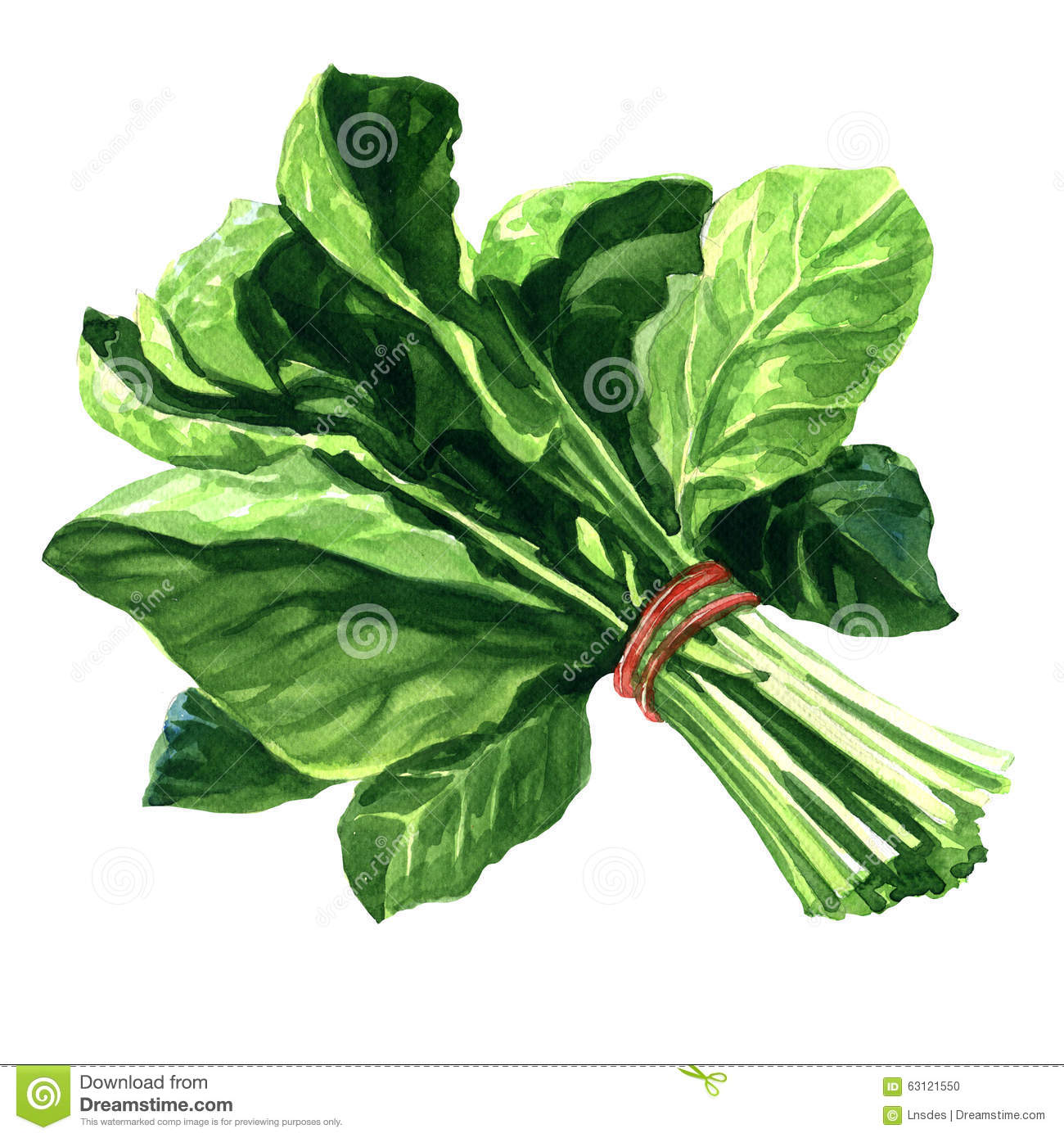 Fresh Spinach Stock Illustrations.