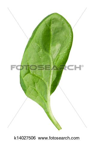 Stock Images of Spinach leaf k14027506.