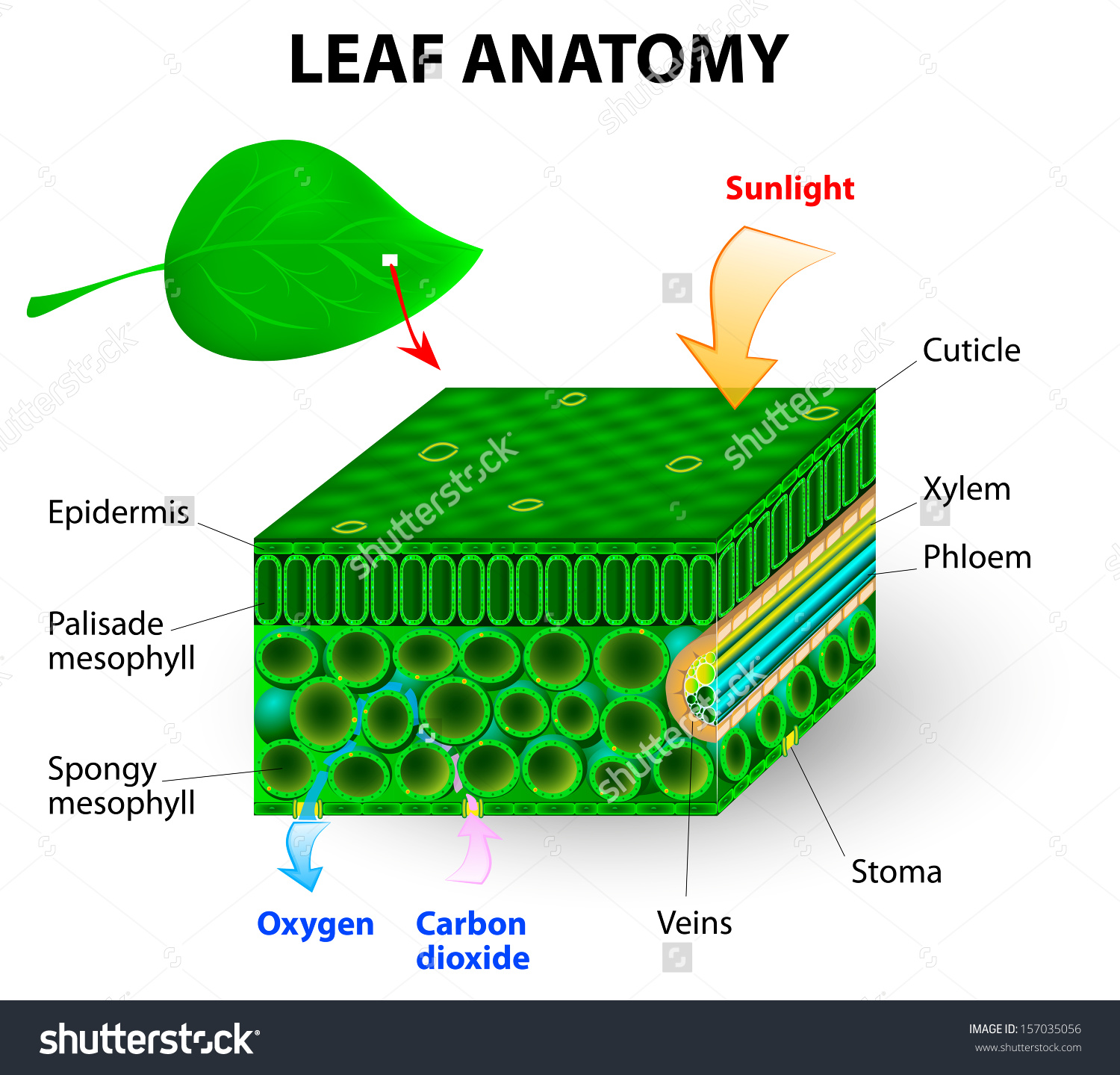 Leaf Anatomy Vector Diagram Photosynthesis Chlorophyll Stock.