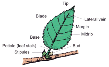 Watch more like Basic Leaf Anatomy.