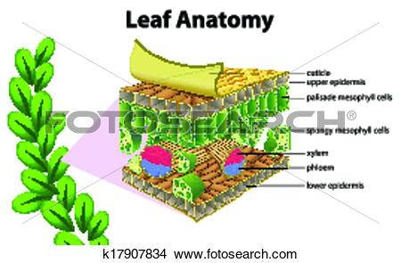 Clipart of Leaf anatomy k17907834.