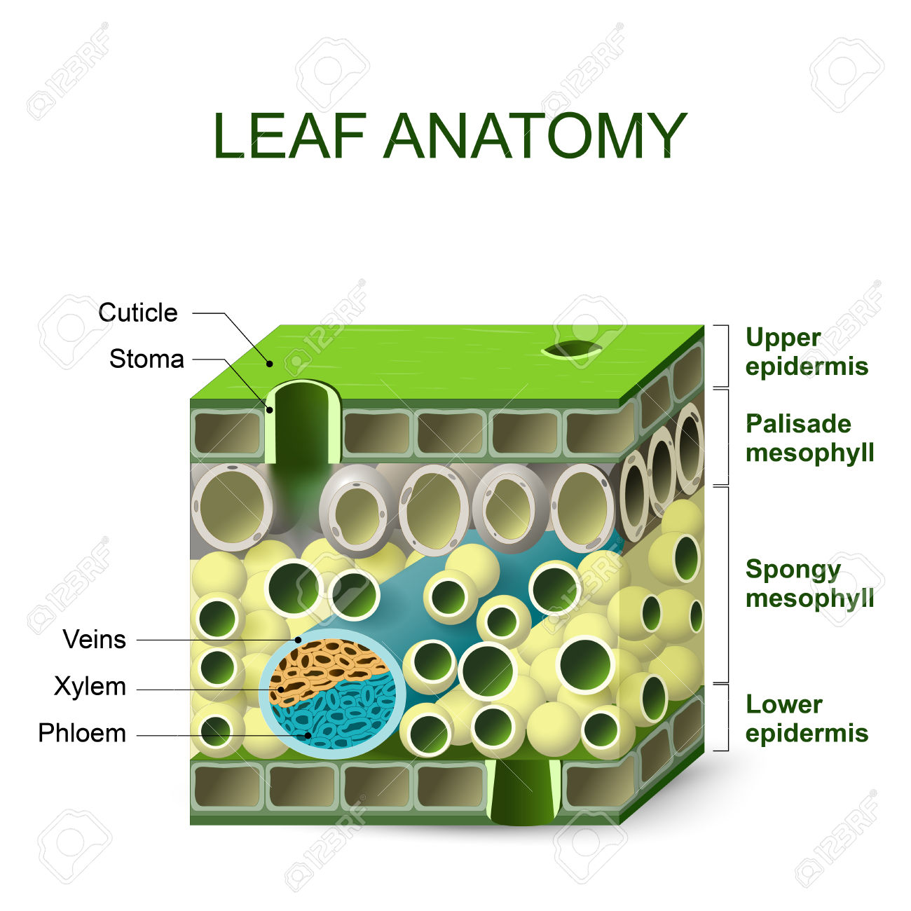 Leaf Anatomy. Diagram Of Leaf Structure Royalty Free Cliparts.