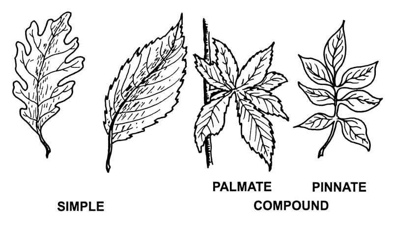 Palmate pinnate clipart #2