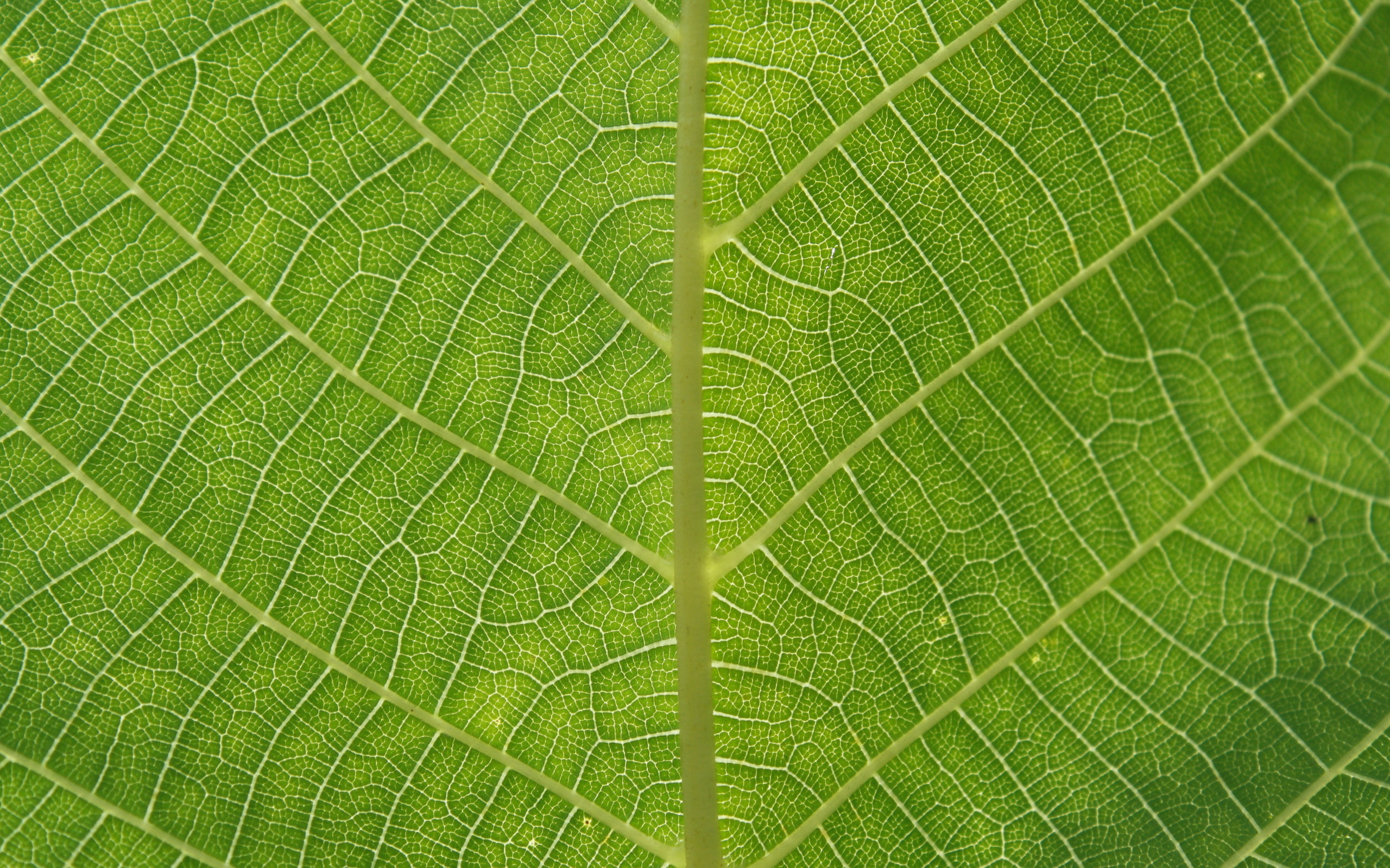 leaf, download photo, texture, green leave texture, background.