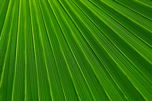 Palm Leaf Texture J.