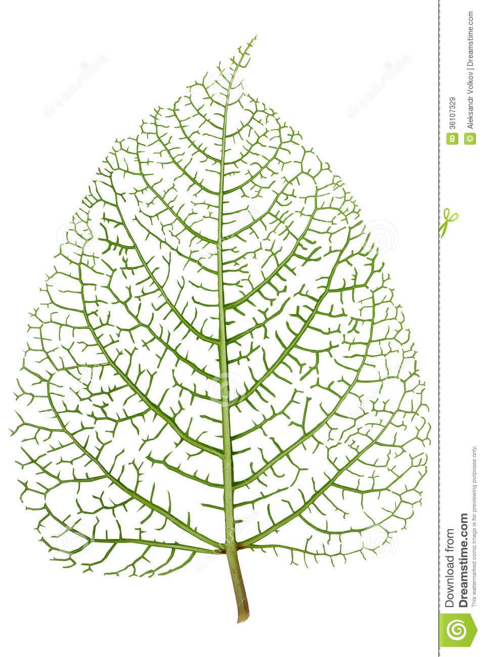 Leaf Skeleton Veins Royalty Free Stock Images.