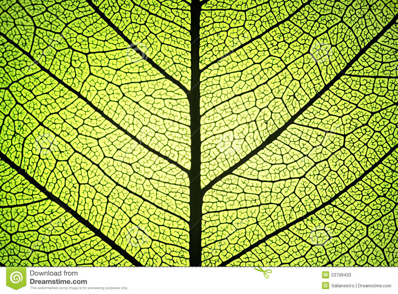 Leaf Veins Royalty Free Stock Photography.