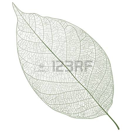 4,414 Leaf Vein Stock Illustrations, Cliparts And Royalty Free.