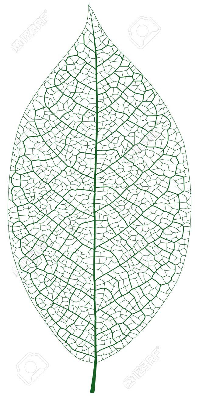 leaf veins clipart clipground