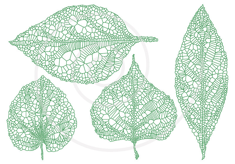 Green vein leaves, skeleton leaf silhouette, spring leaves.