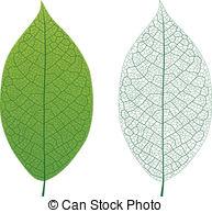 Leaf vein Illustrations and Clipart. 3,055 Leaf vein royalty free.