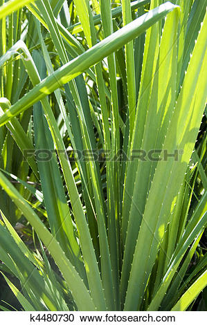 Stock Photography of Mengkuang Leaves k4480730.
