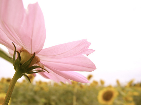 Cosmos free stock photos download (53 Free stock photos) for.