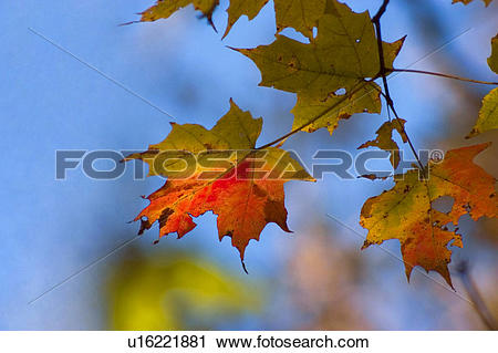 Stock Photography of Turning Leaves Against Blue Sky u16221881.
