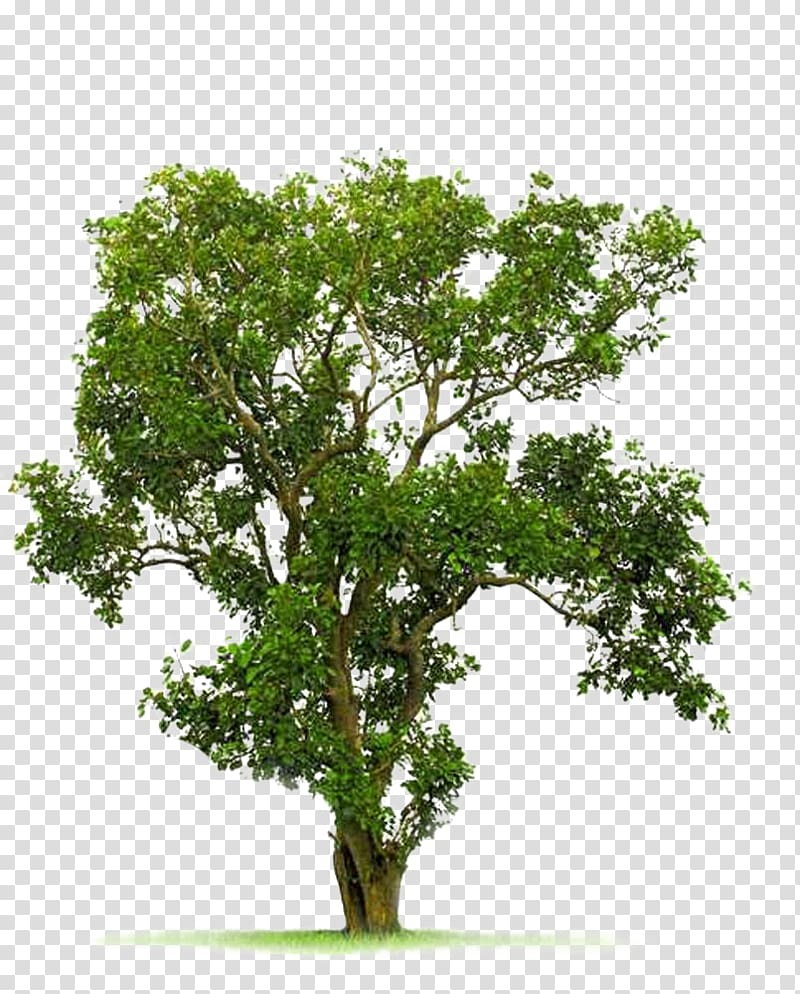 Green leafy tree illustration, Tree Juglans, A Bodhi tree.