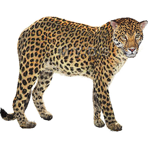 Leopard Clipart.