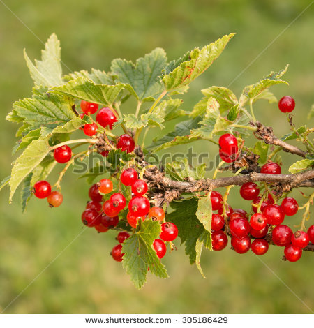 Collage Berries Hawthorn Stock Photo 560579866.