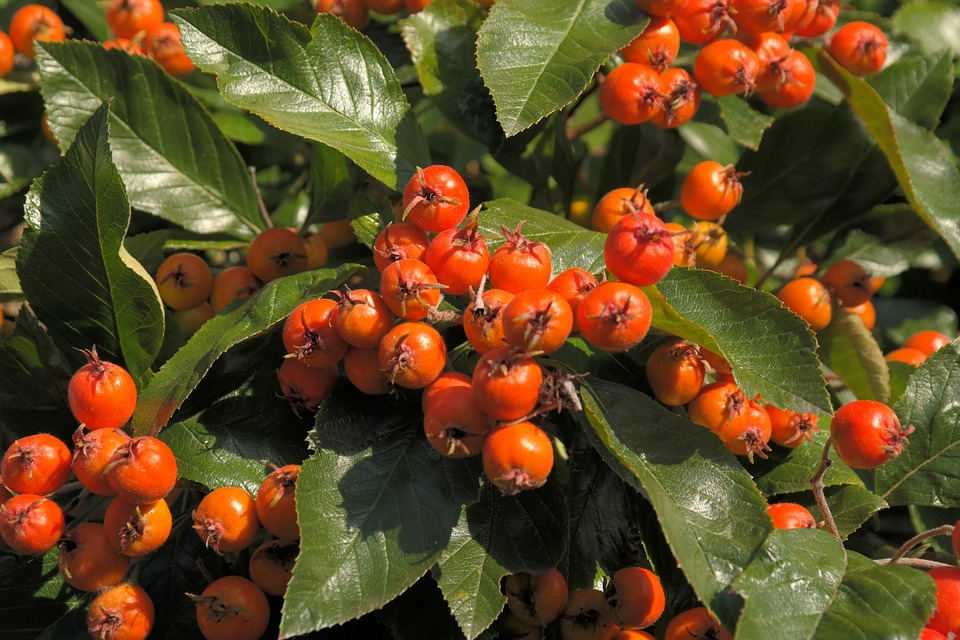Free photo: Wild Fruit, Berries, Tree, Red.