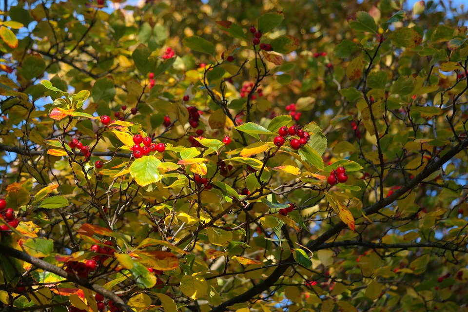 Free photo Berries Tree Fruits Leaves Berry Red Red.