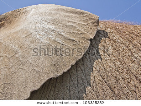 African Elephant Ear Thick Leathery Skin Stock Photo 103325282.