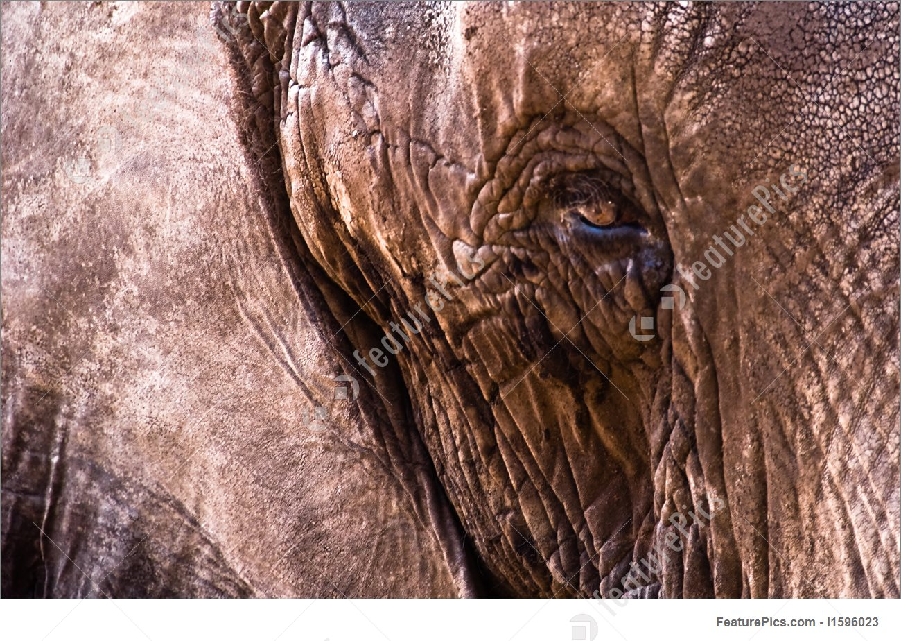 Wildlife Animals: Elephant Leather Skin Close.