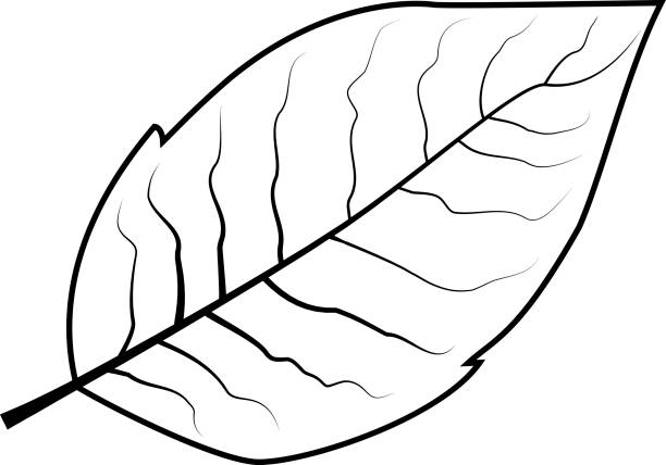 Best Tobacco Leave Illustrations, Royalty.