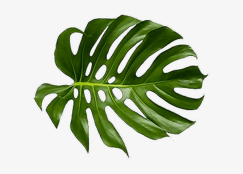 Tropical Palm Png.