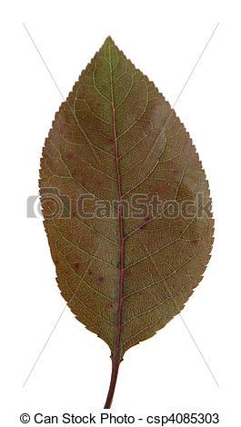Stock Photos of Purple Leaf Sand Cherry Leaf.