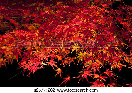 Stock Photo of Red autumnal Japanese maple leaves at night.