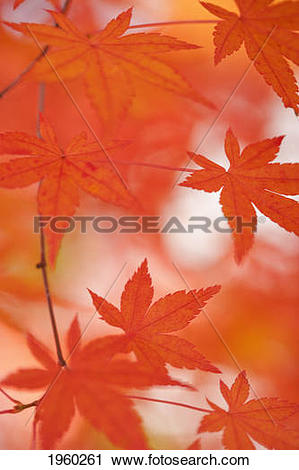 Stock Photography of red japanese maple leaves; hakone, japan.
