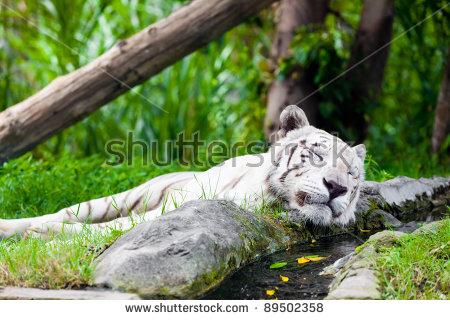 White Royal Bengal Tiger Stock Photo 89502364.