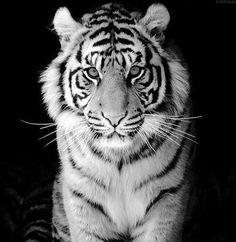 Weisser tiger glitzer bilder.