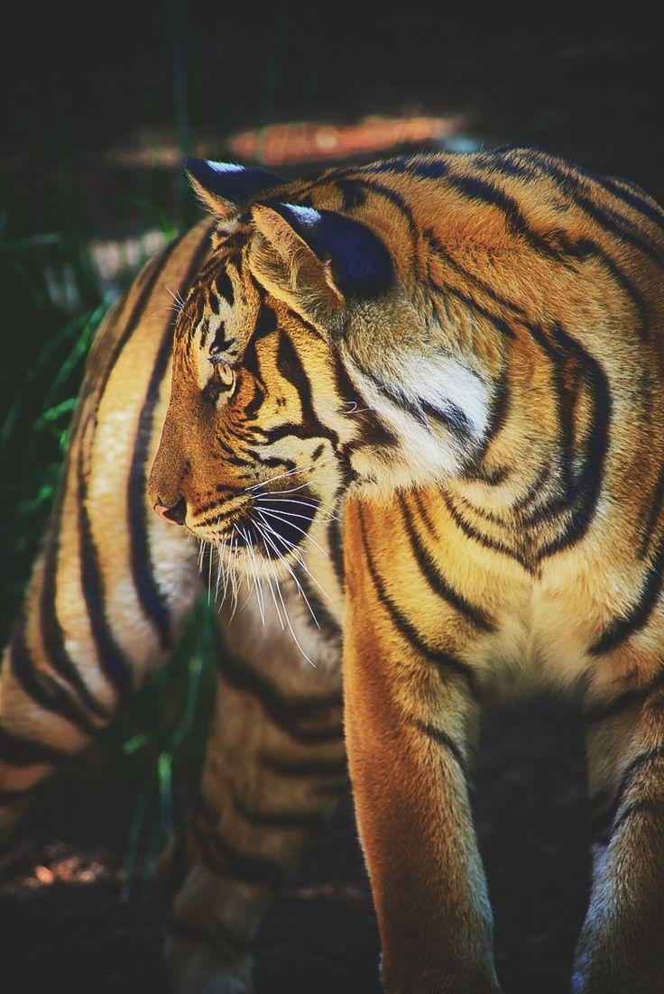 1000+ Bilder zu Tigres auf Pinterest.