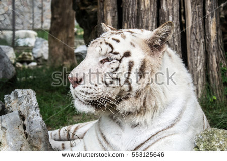 White Royal Bengal Tiger Stock Photo 89502364.