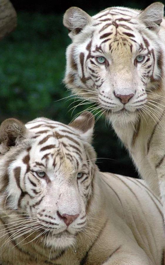 "Über 1.000 Ideen zu ""Papel De Parede Tigre auf Pinterest."